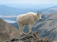 mountain_goat_1