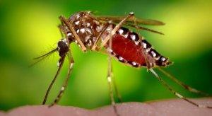 mos-728x400 gm mosquitos